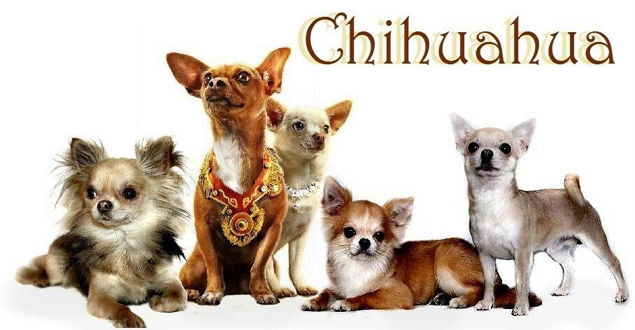 все про собаку чихуахуа