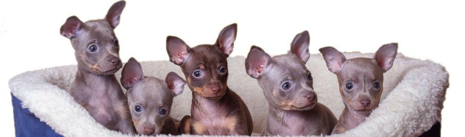 Календарь беременность у собак