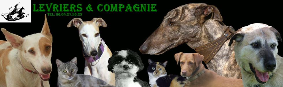 Chiens A L Adoption Levriers Et Compagnie