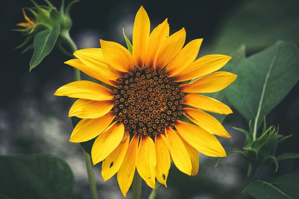 Sonnenblumen-Tipps