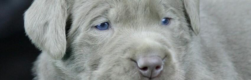 Aktuelle Welpen Puppies Mingan Labrador Labradore In Silber Charcoal Champagner Braun