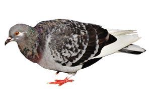 Taubenkot entfernen