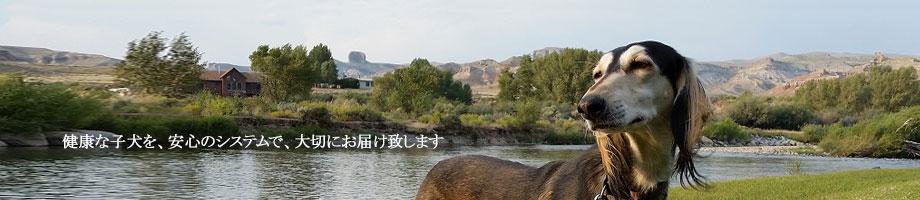 サルーキ・アフガンハウンド・ウィペット・ボルゾイ 優良ブリーダーの健康な子犬を安全にお届けする「子犬販売ci penso io(シペンソイオ)」です