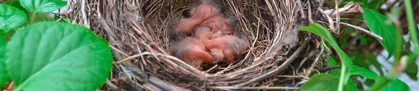 Ein Vogelnest mit Jungvögeln, nach dem ein Ersatzquartier gefunden wurde, von der 3B Denkmalpflege & Bausanierung GmbH