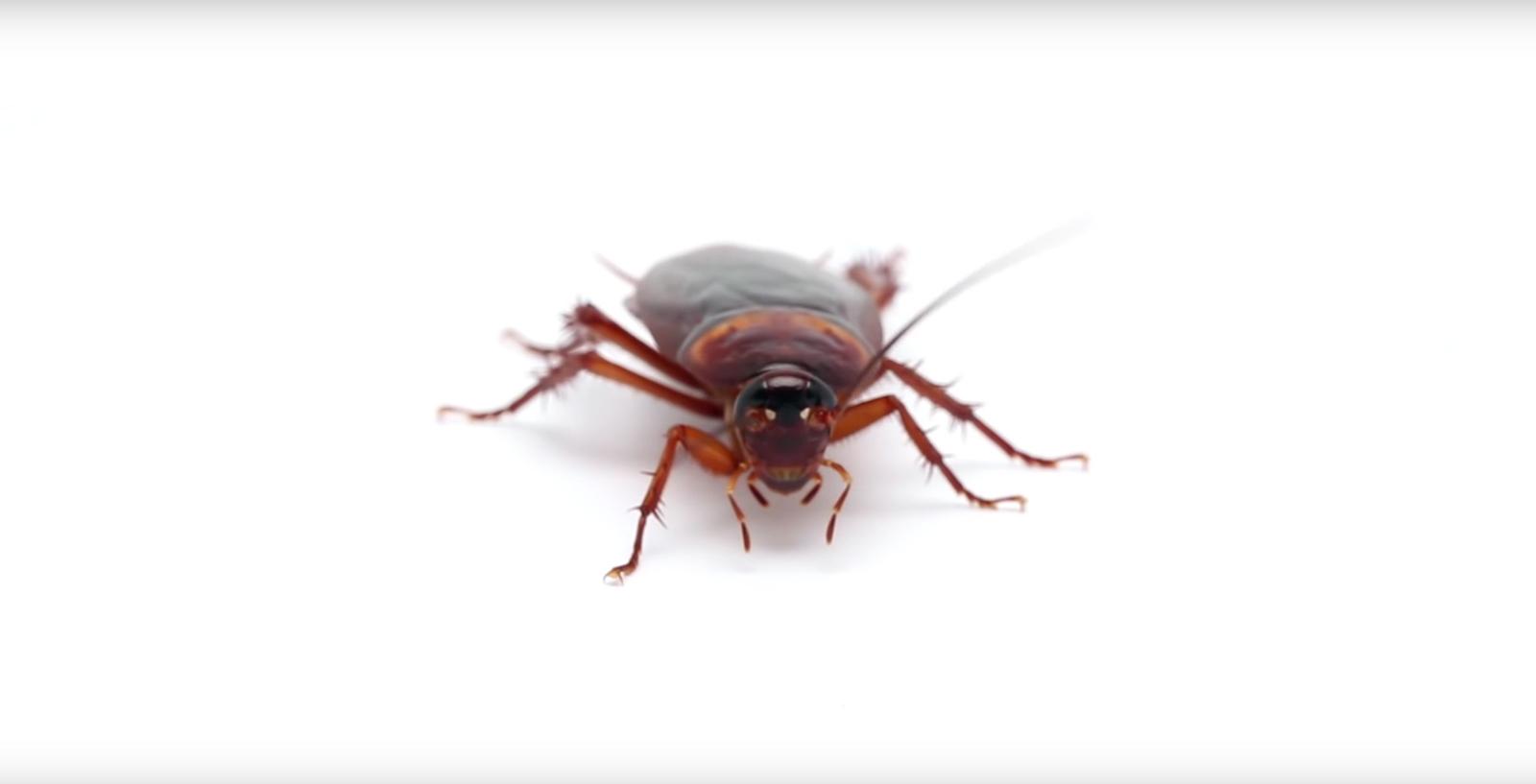 Küchenschaben Parasiten Ungeziefer Biozida