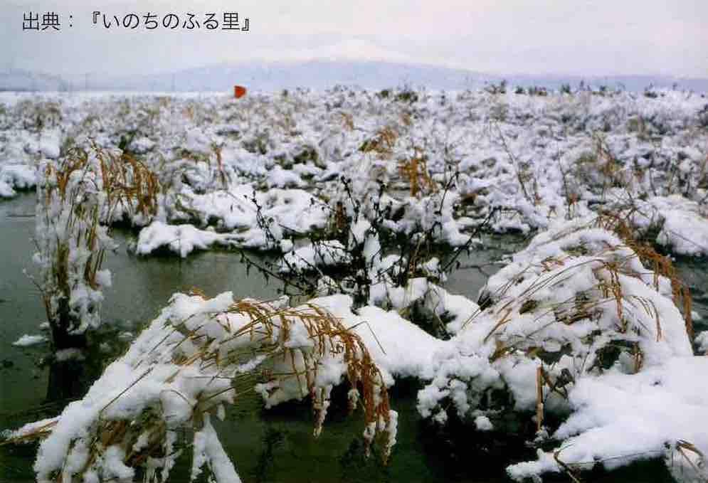 雪を被り冬を越す休耕田と稲
