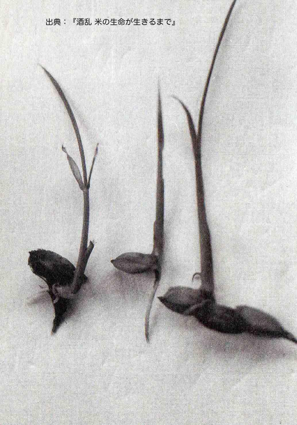 発芽して幼い早苗へと成長し始めている米の種籾。写真の出典は書籍『酒乱こめのいのちが生きるまで』