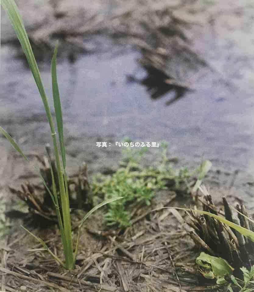 休耕田だろうか。湿った稲の切り株とすぐそばの水たまり。落ちた籾から自然に発芽した早苗。それをじっと観ているようにも見えるアマガエルがいる。写真の出典は書籍『いのちのふる里』