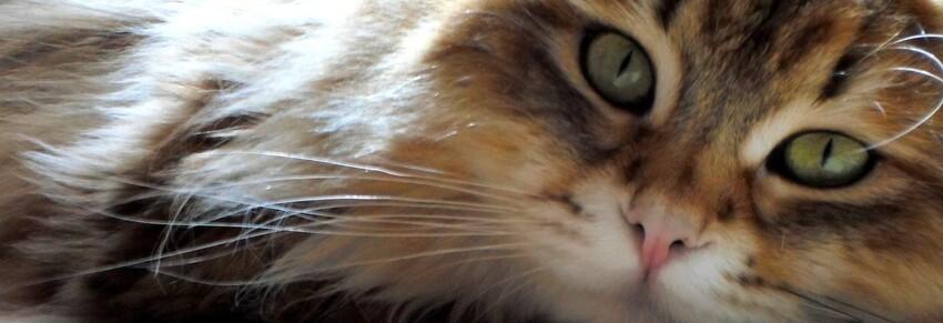 Gatti Da Adottare Allevamento Del Gatto Siberiano In Italia