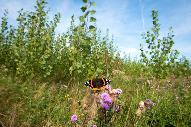 Schmetterling auf der Plantage