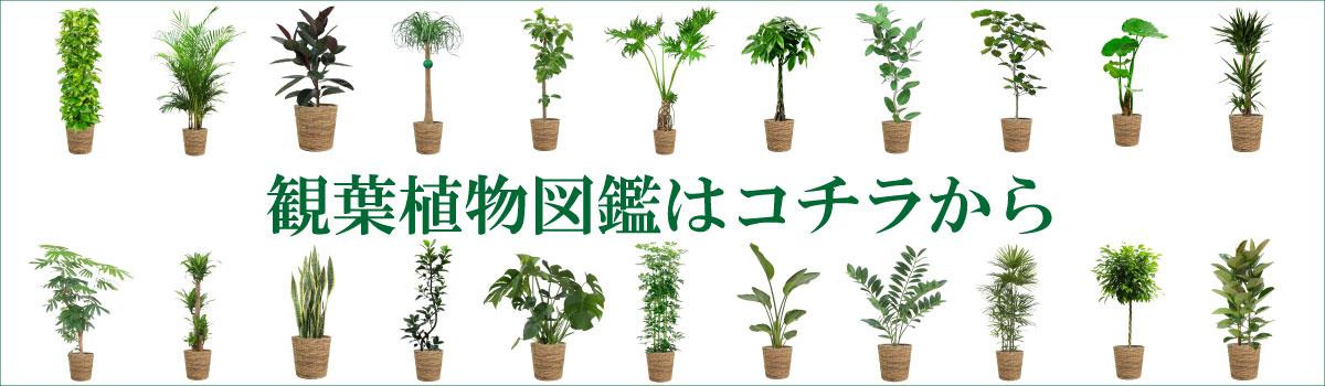 観葉植物の育て方はコチラ