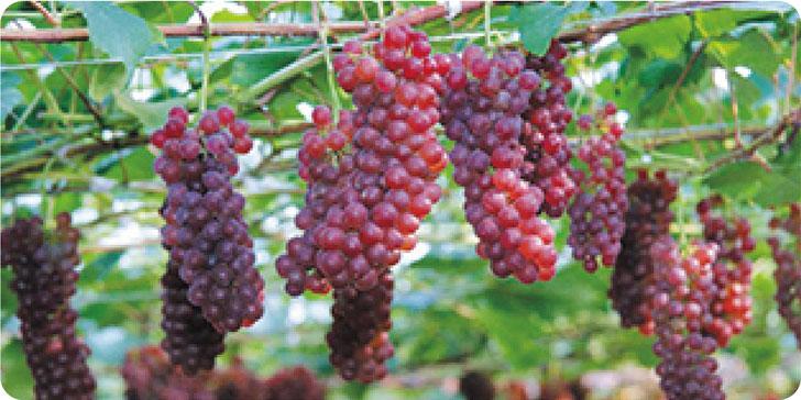 Small Grapes