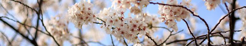 和菓子教室 sakura