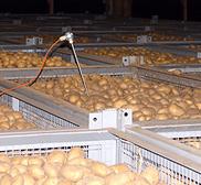 Frisch geerntete Heide-Kartoffeln