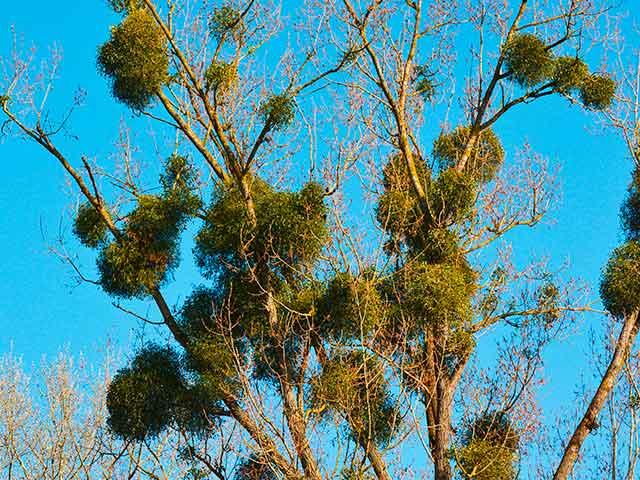 Baumpflege Rohrbeck - Mistelentfernung