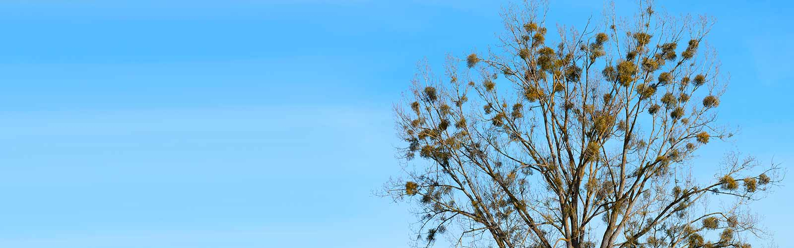 Baumpflege Rohrbeck - Entfernung von Misteln