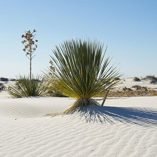 Arten der Gattung Yucca