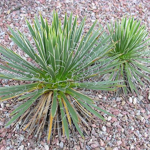 Yucca Pflanzen aus erster Hand bei uns im Shop