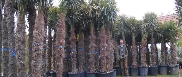Expedition de palmier plante exotique et d 39 arbuste rare - Plante exterieur toute saison ...