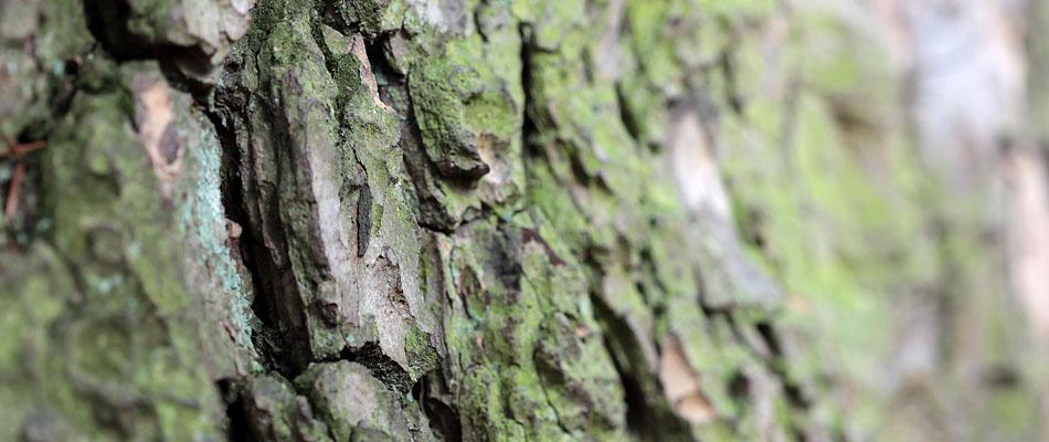 Die Baumrinde eines Zederbaum